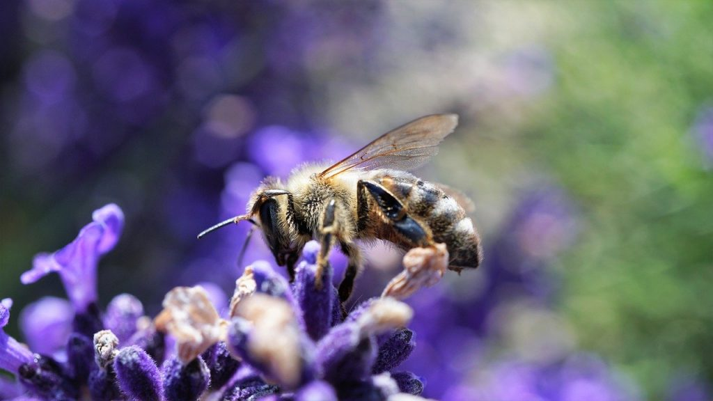 bee, honey bee, lavender